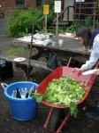 salad greens in a wheelbarrow